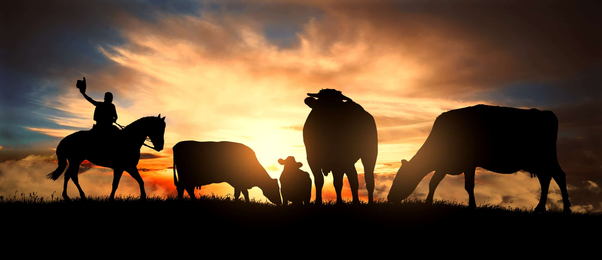 Cowboy with a herd of cattle at dusk.